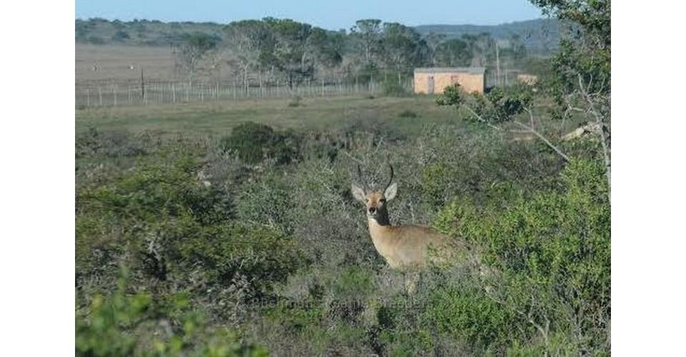 2nd Southern Reedbuck Breeding Ram – Bushmans Game Breeders