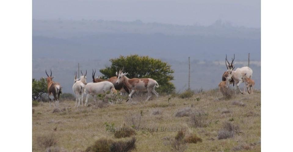 Blesbuck – Name Jack Russel – Bushmans Game Breeders
