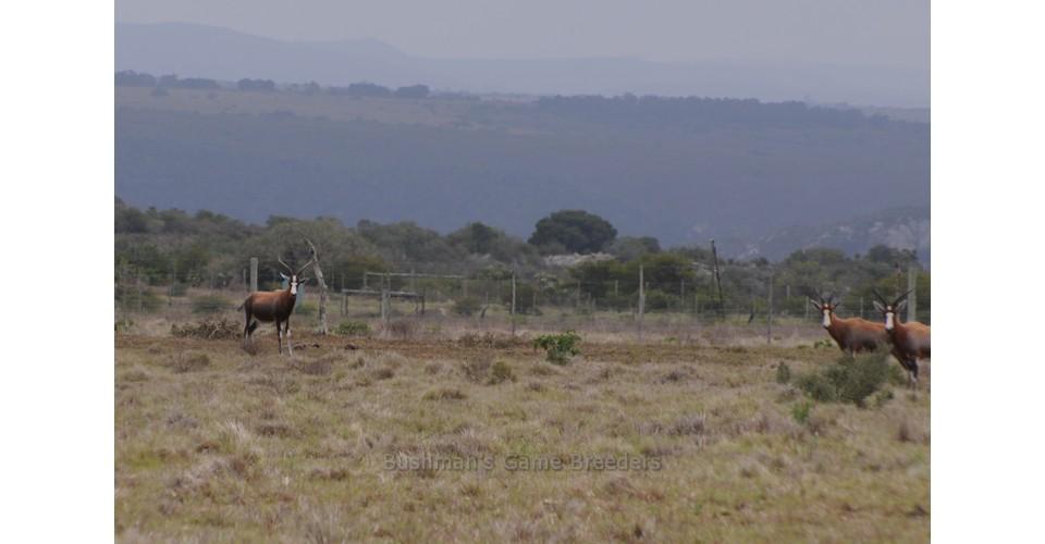 Blesbuck named IIMPONDO – Bushmans Game Breeder