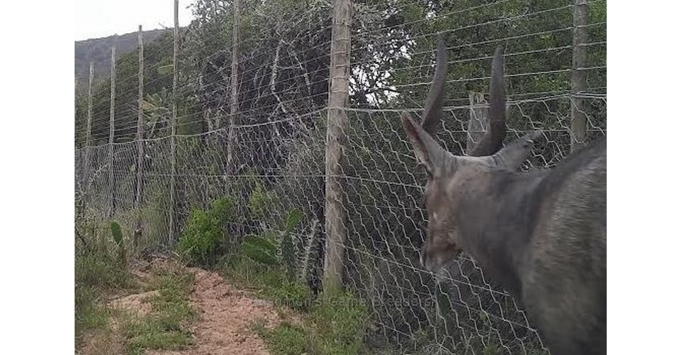 Bushbuck – Bushmans Game Breeders