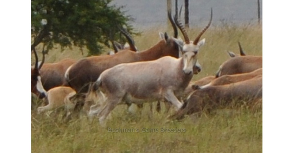 Dollar Brand – Blesbuck on Bushmans Game Farm – Eastern Cape (1)