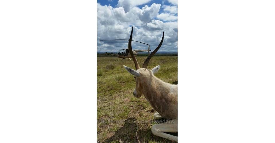 Dollar Brand – Blesbuck on Bushmans Game Farm – Eastern Cape (3)