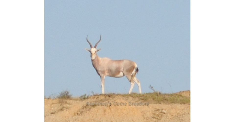 Dollar Brand – Blesbuck on Bushmans Game Farm – Eastern Cape (4)