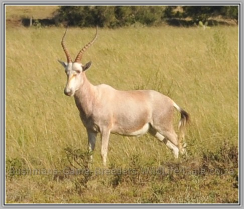 Dollar Brand - Blesbuck on Bushmans Game Farm - Eastern Cape