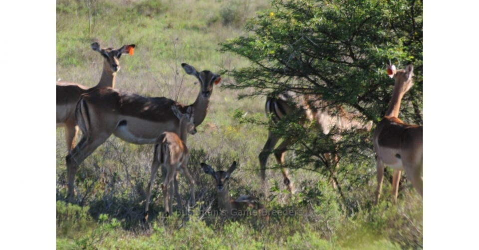 Impala Bushmans-Game-Breeders.WildTeKoop.co.za
