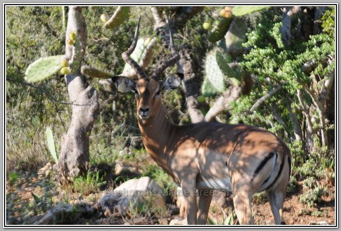 Impala Bushmans-Game-Breeders