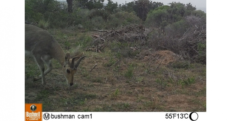 Mountain Reedbuck – Bushmans Game Breeders – Alexandria Eastern Cape