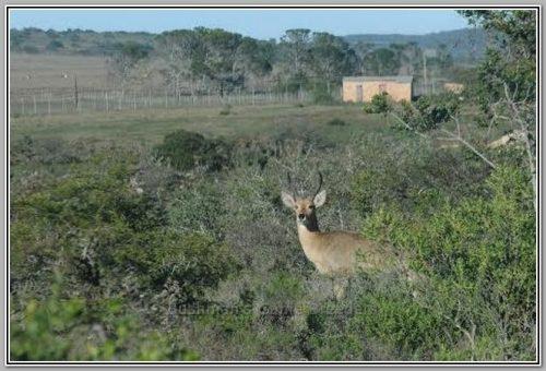 2nd Southern Reedbuck Breeding Ram - Bushmans Game Breeders