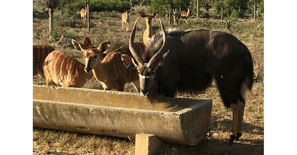 BIG BOY & BIG GIRL – at Bushmans Game Breeders