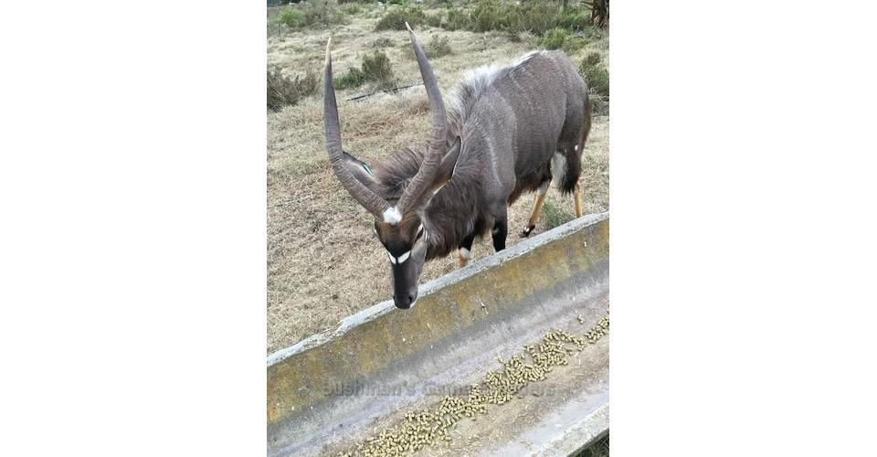 Big Boy – Crowned Nyala at Bushmans Game Breeders