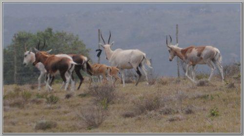 Blesbuck - Name Jack Russel - Bushmans Game Breeders