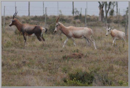 Blesbuck - Name Rafiki - Bushmans Game Breeders