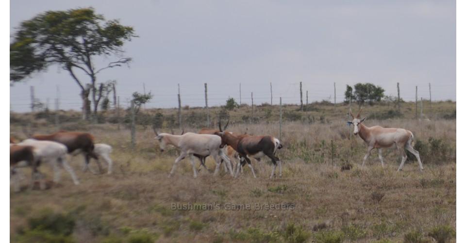 Blesbuck – Name Rafiki – Bushmans Game Breeders