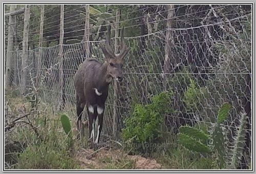 Bushbuck on Bushmans Game Breeders Ranch