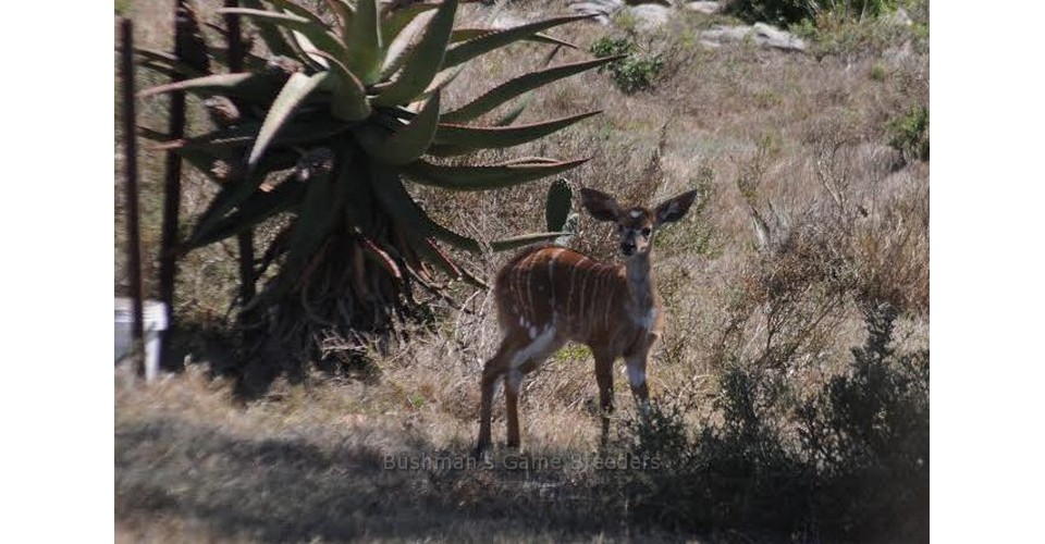 CROWNED NYALA BABY at Bushmans Game Breeding Projects