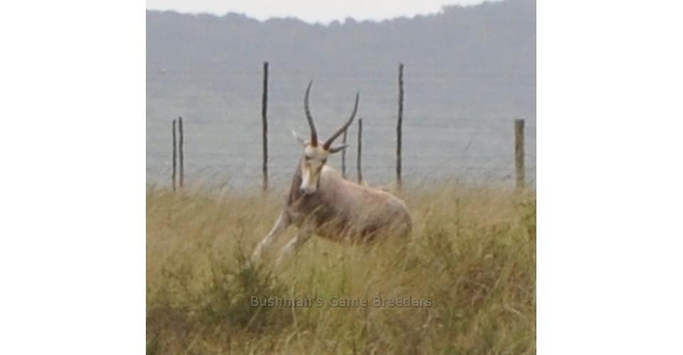 Dollar Brand – Blesbuck on Bushmans Game Farm – Eastern Cape (2)