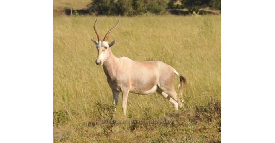 Dollar Brand – Blesbuck on Bushmans Game Farm – Eastern Cape