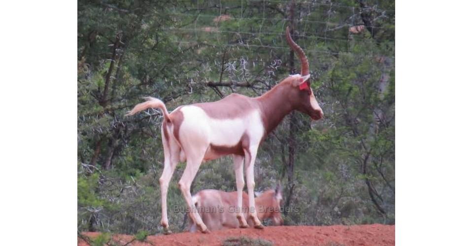 FATHER OF RAFIKI – Blesbuck – Bushmans Game Breeders