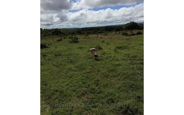 Grysbok op Bushmans Game Breeders wildsplaas