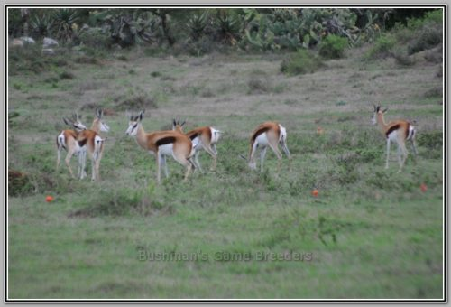 Hartwater Springbokke - Bushmans Game Breeders