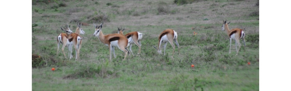 Hartwater Springbokke – Bushmans Game Breeders
