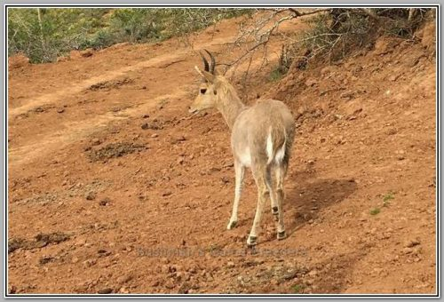Mountain Reedbuck - Bushmans Game Breeders - Alexandria Eastern Cape
