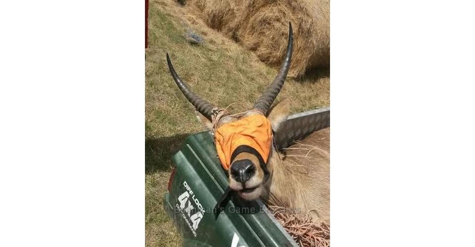 Southern Reedbuck Breeding Ram – Bushmans Game Breeders